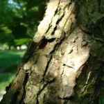 Chinesische Haselnuss Corylus chinensis 05