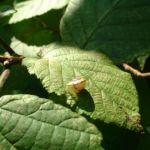 Chinesische Haselnuss Corylus chinensis 06