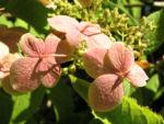 Chinesische Hortensie Bluete pink Hydrangea heteromalla 01