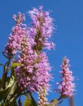 Chinesische Kamm Minze Bluete pink Elsholtzia stauntonii 05