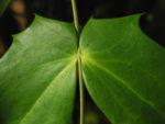 Chinesische Schmuckmahonie Blatt gruen Mahonia bealii 11