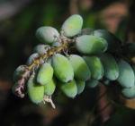 Chinesische Schmuckmahonie Frucht gruen Mahonia bealii 03