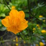 Chinesische Trollblume Bluete orange Trollius chinensis 06