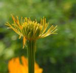 Chinesische Trollblume Bluete orange Trollius chinensis 08