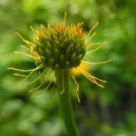 Chinesische Trollblume Bluete orange Trollius chinensis 10