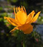 Bild:  Chinesische-Trollblume Blüte orange Trollius chinensis