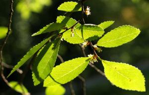 Chinesische Ulme Blatt gruen Rinde hellbraun Ulmus parvifolia 04