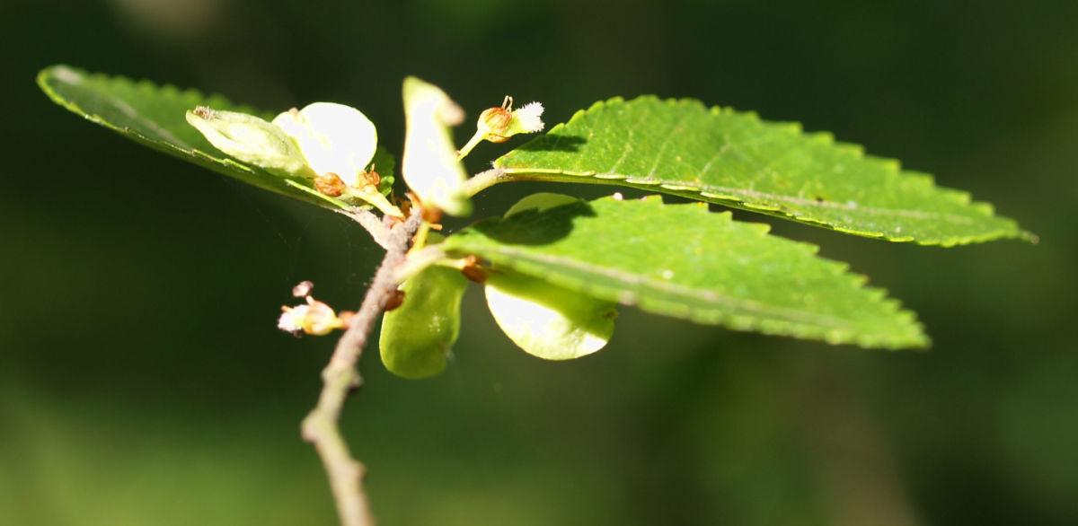 Chinesische Ulme Blatt gruen Rinde hellbraun Ulmus parvifolia