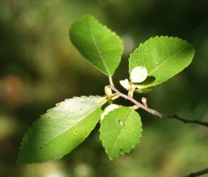 Chinesische Ulme Blatt gruen Rinde hellbraun Ulmus parvifolia 11