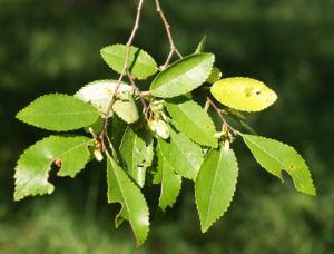 Chinesische Ulme Blatt gruen Rinde hellbraun Ulmus parvifolia 13