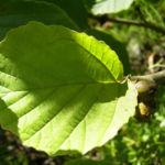 Chinesische Zaubernuss Frucht Blatt Hamamelis mollis 05