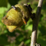 Chinesische Zaubernuss Frucht Blatt Hamamelis mollis 08