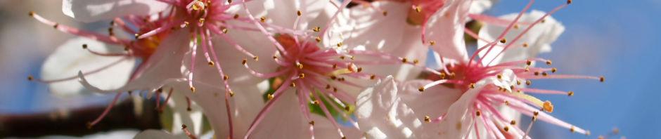 chinesischer-kirschbaum-bluete-rose-prunus-dielsiana