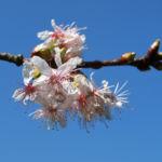 Chinesischer Kirschbaum Bluete rose Prunus dielsiana 04