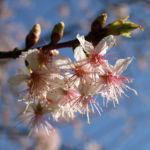 Chinesischer Kirschbaum Bluete rose Prunus dielsiana 07