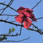 Chinesischer-Roseneibisch Blüte rot Hibiscus rosa-sinensis 04