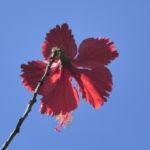 Chinesischer-Roseneibisch Blüte rot Hibiscus rosa-sinensis 07