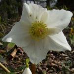 Christrose Schneerose Helleborus orientalis 01