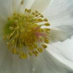 Christrose Schneerose Helleborus orientalis 05