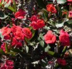 Christusdorn Bluete rot Euphorbia milii 03