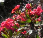 Christusdorn Bluete rot Euphorbia milii 05