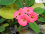 Christusdorn Bluete rot Euphorbia milii 09