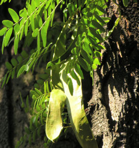 Christusdorn Gleditschie Dorn Blatt Gleditsia triacanthus 02
