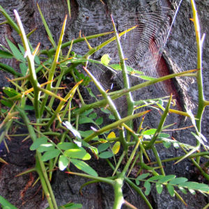 Christusdorn Gleditschie Dorn Blatt Gleditsia triacanthus 06