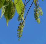 Cissusblaettriger Ahorn Blatt gruen Acer cissifolium 04