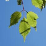 Cissusblaettriger Ahorn Blatt gruen Acer cissifolium 05