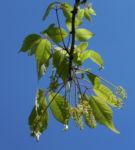 Cissusblaettriger Ahorn Blatt gruen Acer cissifolium 06