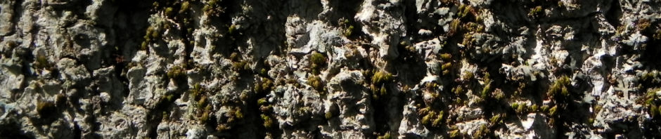 cissusblaettriger-ahorn-blatt-gruen-acer-cissifolium