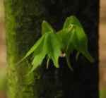 Cissusblatt Ahorn Baum Bluete gruenlich Acer cissifolium 13