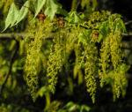 Cissusblatt Ahorn Baum Bluete gruenlich Acer cissifolium 20