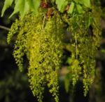 Cissusblatt Ahorn Baum Bluete gruenlich Acer cissifolium 21