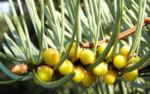 Colorado Tanne Baum Kospe Abies concolor 01