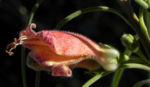 Crimson Turkey Bush Emubusch Strauch Bluete orange Eremophila latrobei 05