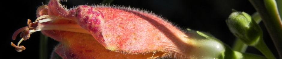 crimson-turkey-bush-emubusch-strauch-bluete-orange-rot-eremophila-latrobei