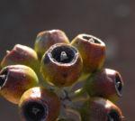Curly Mallee Eukalyptus Bluete gelblich Blatt hell Eucalyptus gillii 11