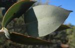 Curly Mallee Eukalyptus Bluete gelblich Blatt hell Eucalyptus gillii 13