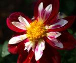 Bild:  Dahlie Blüte weiß rot Dahlia