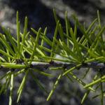 Dead Finish Akazie Bluete gelb Acacia tetragonophylla 03