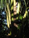 Dessertbanane Blatt gruen Musa × paradisiaca 03