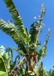 Dessertbanane Blatt gruen Musa × paradisiaca 07