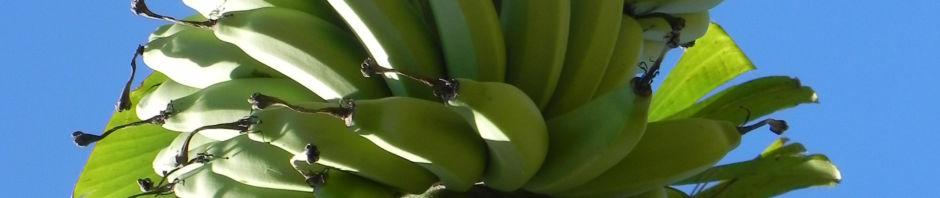 dessertbanane-frucht-gruen-bluete-purpur-blatt-musa-x-paradisiaca