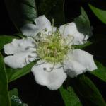 Deutsche Mispel Bluete weiss Mespilus germanica 01