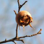 Deutsche Mispel Frucht braun Mespilus germanica 02