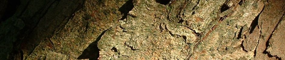 deutsche-mispel-frucht-braun-mespilus-germanica