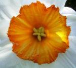 Dichternarzisse Narzissus poeticus 02