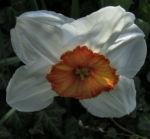 Dichternarzisse Narzissus poeticus 04